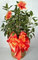 Hibiscus Plant  from Carl Johnsen Florist in Beaumont, TX
