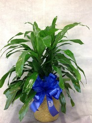 Dracaena Plant from Carl Johnsen Florist in Beaumont, TX