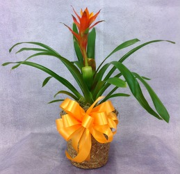 Bromeliad Plant  from Carl Johnsen Florist in Beaumont, TX
