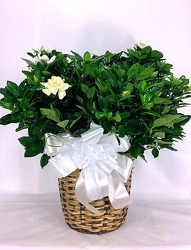 Gardenia Plant from Carl Johnsen Florist in Beaumont, TX