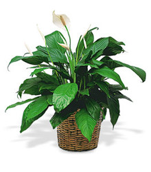 Spathiphyllum  Plant from Carl Johnsen Florist in Beaumont, TX