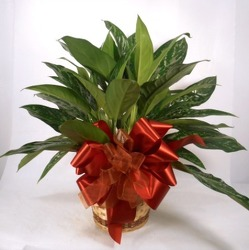 Chinese Evergreen  from Carl Johnsen Florist in Beaumont, TX