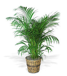 Palm Plant  from Carl Johnsen Florist in Beaumont, TX